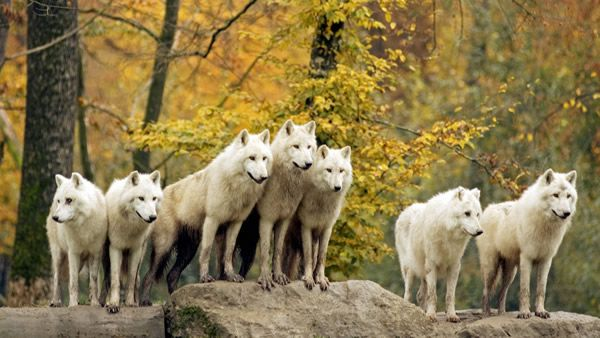 Arctic or Canadian Wolves in Autumn